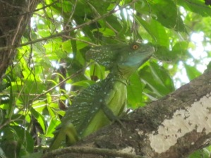 Jesus Christ Lizard, Costa Rica